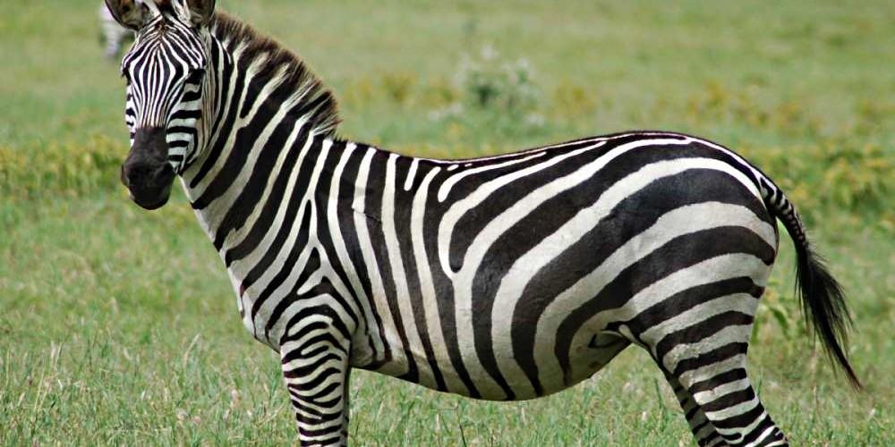 Black Camouflage Wallpaper 11 Grandes Curiosidades Que Voc 234 N 227 O Sabia Sobre As Zebras