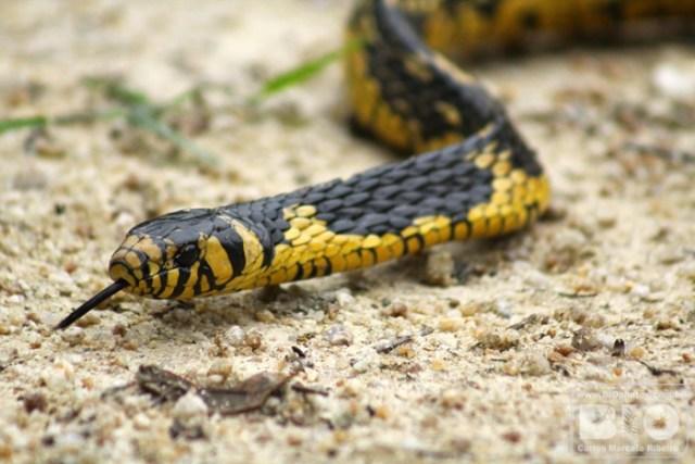 Polícia pede que as pessoas não matem as cobras que aparecem no Norte da Ilha