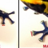 How to Visually Sex Dart Frogs