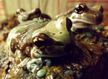 milk frogs eyes