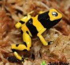 dendrobates leucomelas kahn bumble bee poison dart arrow frog for sale josh's frogs (23)