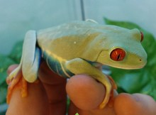 josh's frogs red eye tree frog adult