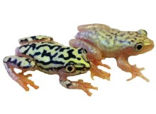 starry night reed frog for sale josh's frogs sexed pair