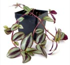 Wandering Jew Purple