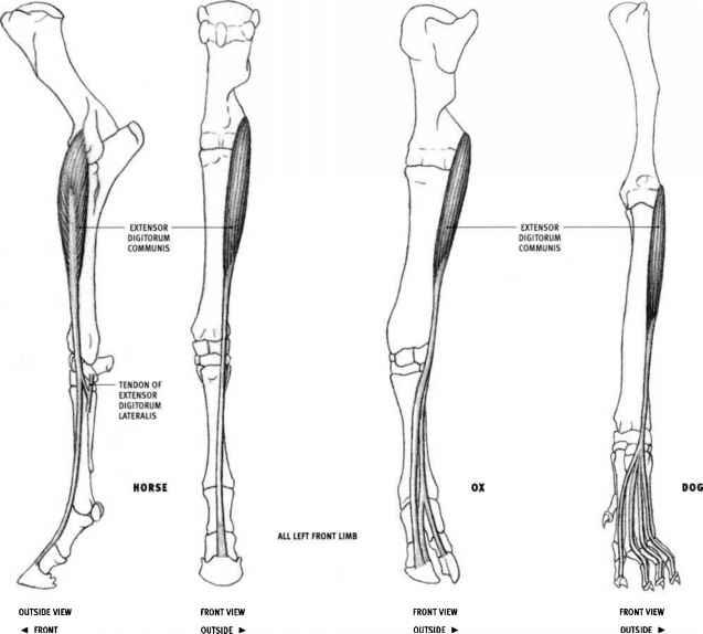 tendons in arm diagram