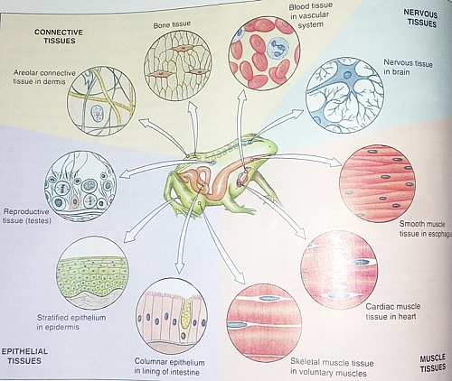 Four Main Types of Tissues in the Body Definition, Functions and