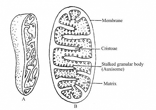diagram of smooth muscle cell organelle