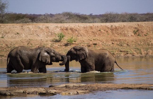 Elephants_erindi