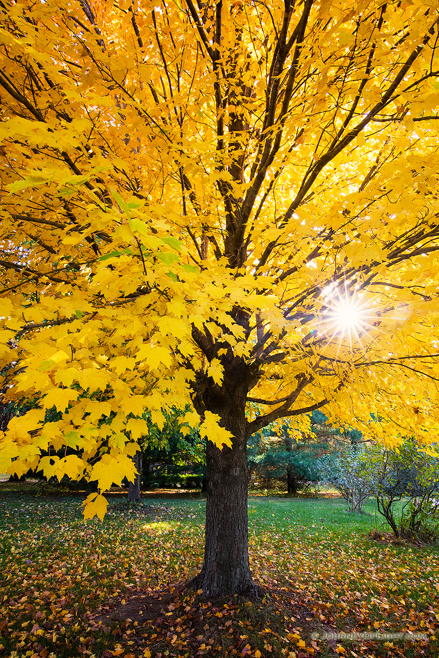 Fall Mountains In The Sun Wallpaper A Maple Tree Turns Golden Yellow At Arbor Day Lodge Sp