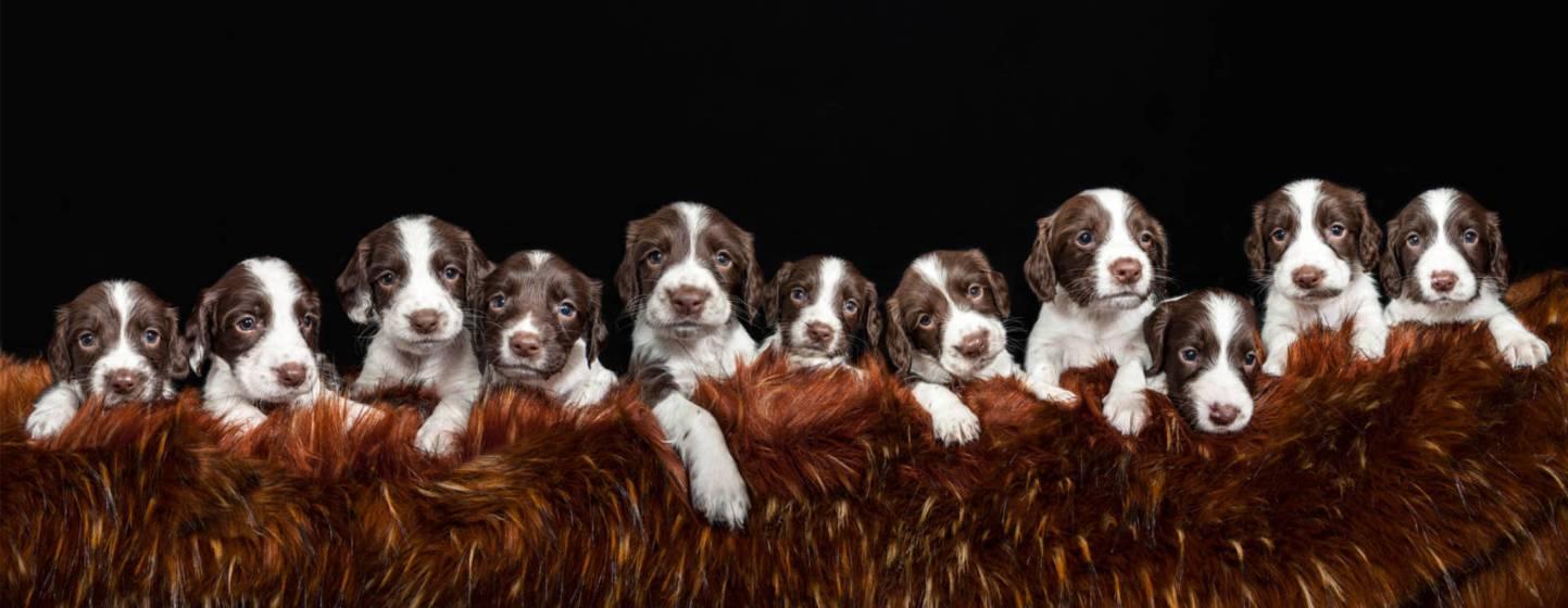 Rosy's puppies