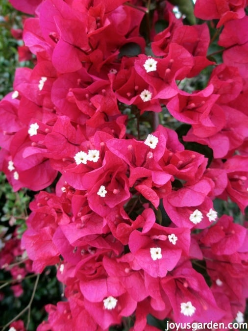 Black Trellis Wallpaper The Secrets Of Bougainvillea Sharing All I Know About
