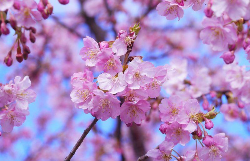 2019 Japan Cherry Blossom Forecast - Japan Rail Pass Blog - cherry blossom animated