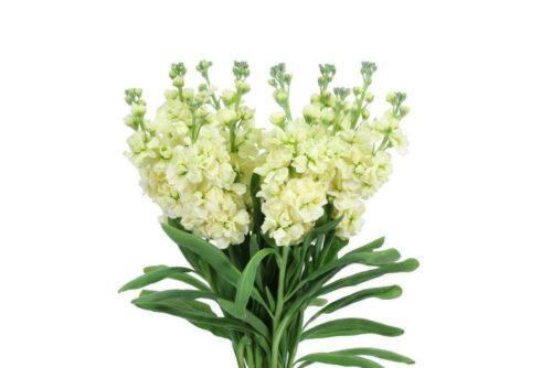 Yellow Stock Wholesale Wedding Flowers 10 Bunch Bulk Flowers