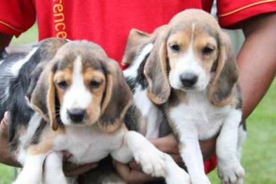 Jual Anjing Beagle Puppies