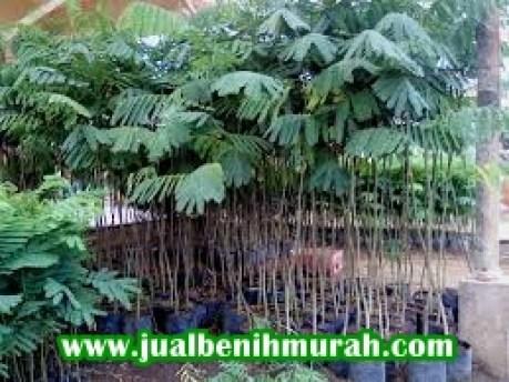 Bibit tanaman Sengon