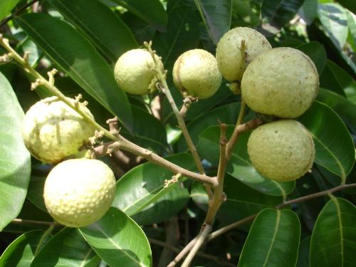 Buah Lengkeng Aroma Durian