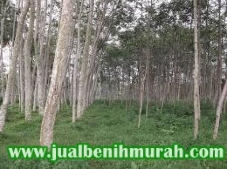 budidaya pohon kayu Solomon