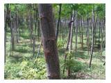 Jual Tanah + Pohon Sengon + pohon Jati