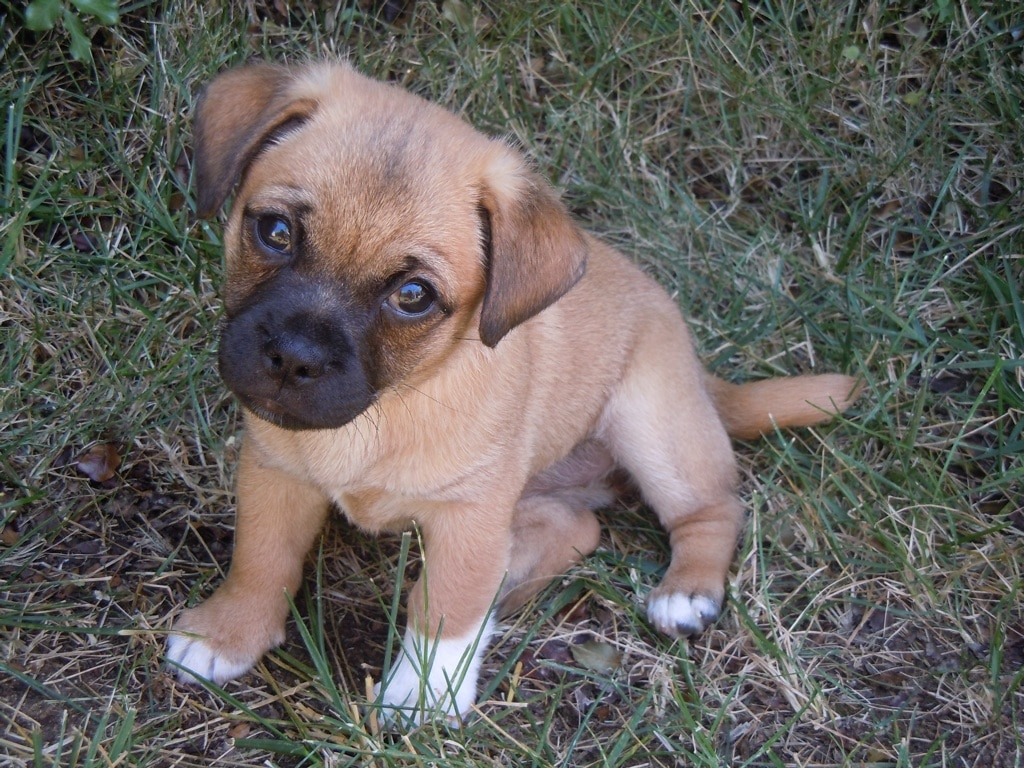 Cute Shih Tzu Puppies Wallpaper Jug Dog Pictures Gallery Jugdog Co Uk