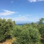 Foto: Olivenhain am Südhang zum Meer
