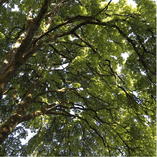 Tree Canopy Shot