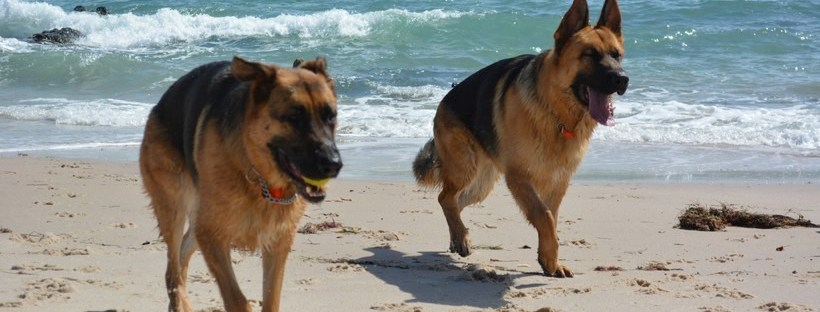 German Shepards on the Beach