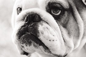 Bulldog losing energy