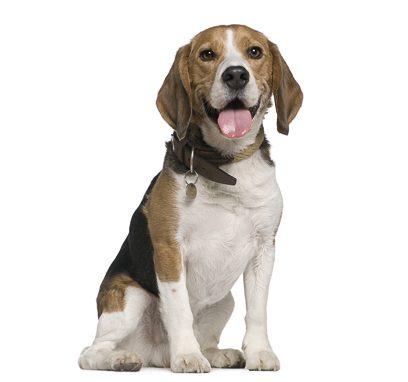 Sitting Beagle