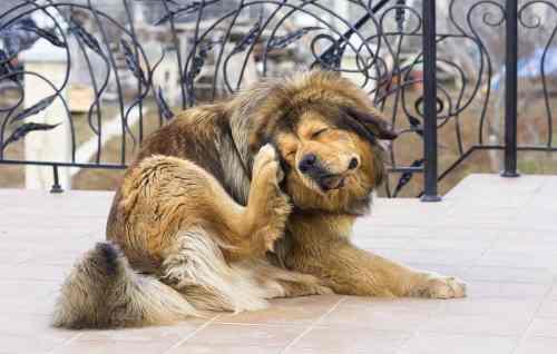 Medium Of Dog Itching Benadryl