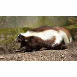 Small Crop Of How To Get Rid Of Skunks