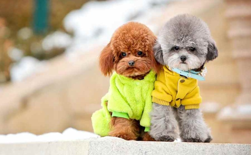 Cute Love Dolls Hd Wallpapers Poodle Standard Poodle Miniature Poodle Toy Poodle