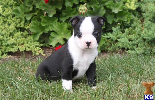 Image For Boston Terrier Stud Wanted