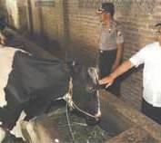 Produksi Susu Segar 78 Ribu Liter