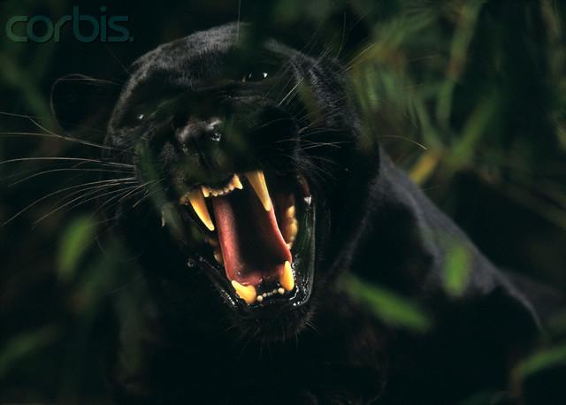 Jaguar Animal Wallpaper Black Panther Roaring