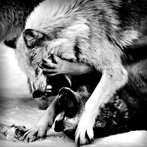 fight-wolf-wolves-Favim.com-