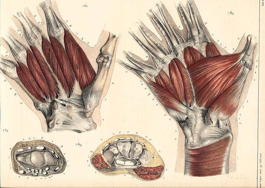MUSCLES OF THE PALM OF YOUR HAND : Benard lithograph 1832 after a drawing of NH JACOB.
