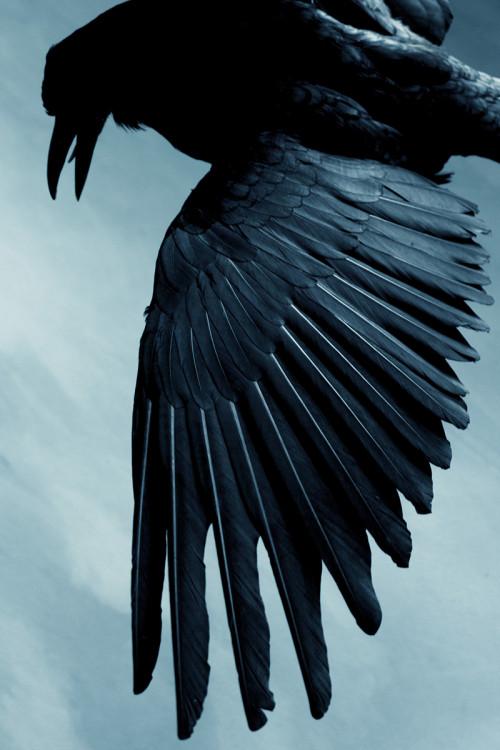 Lombard blackbird by Daniela Lombard