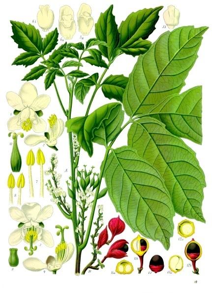guaranà, Paullinia_cupana_-_Köhler–s_Medizinal-Pflanzen-234