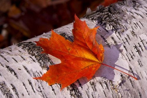 Hd Wallpaper Fall Leaf Change A Just And Inclusive Canada Statement From The Executive