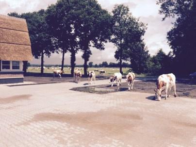 Grazende koeien op de oprit