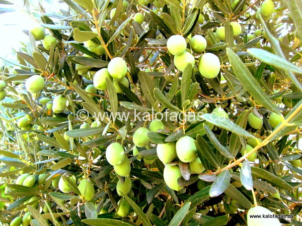 Big fat green olives, Halkidiki