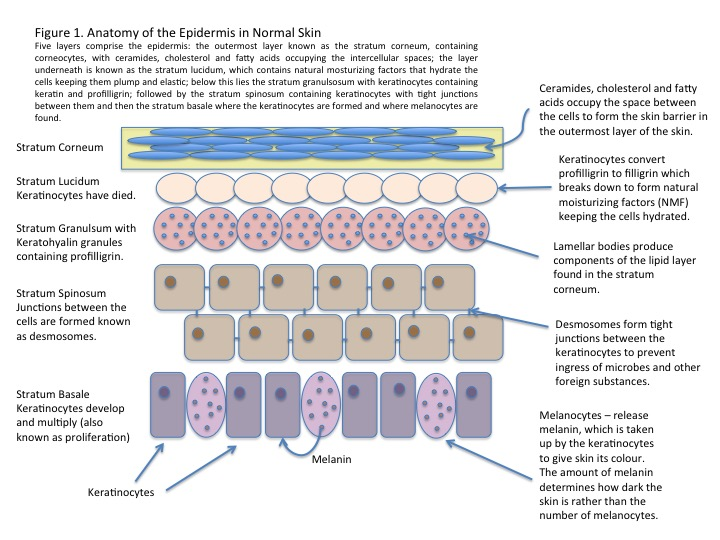 SkInfo - Focus on the Epidermis - Kamaroma - Keratinocytes
