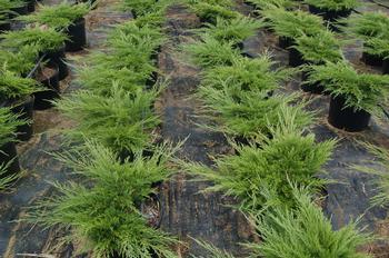 Juniperus Sabina 39monna39 Juniper Calgary Carpetr From