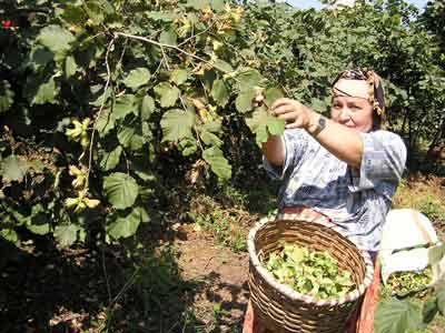 Karadeniz'de üreticinin 2017 fındık sezonu heyecanı başladı