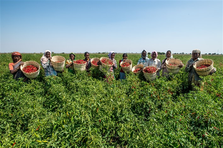 Workers plucking chillies, from the fields at Gabbur, district Raichur, Karnataka. Source Asian Development Bank