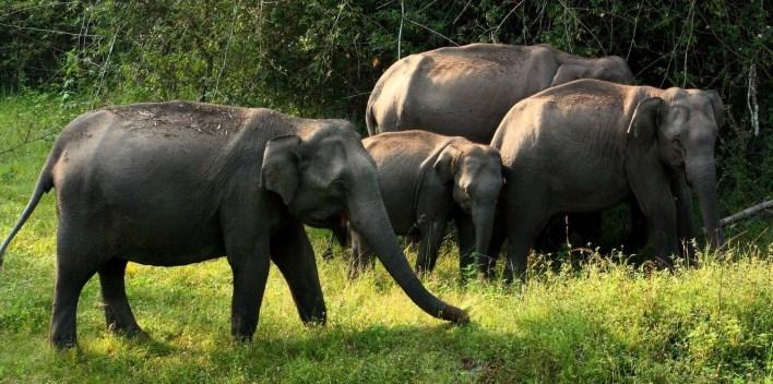 Elephants at Bandipur National Park