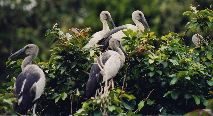 Open billed Stork at the Rangantittu bird sanctuary. Photographer Dinesh Kannambadi