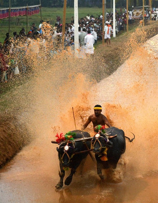 Buffalo Race in Mangaluru. Photo source Oneindia.com