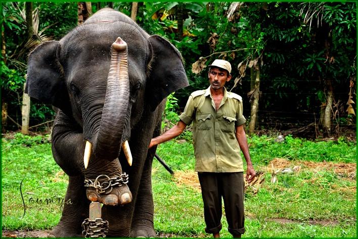 Sakrebailu Elephant Camp, Shimoga. Photographer  Soumyakant Padhi