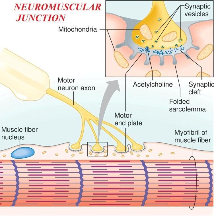 Neuromuscular junction (Myoneural junction) - neuromuscular junction